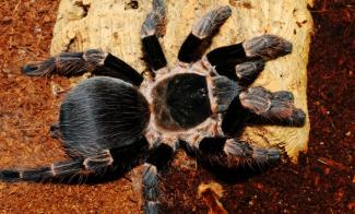 acanthoscurria musculosa купить